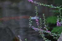 盆花     ≪   ミソハギ   ≫ - そよ風のつぶやき