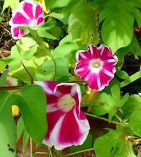 朝顔の花の成長記録  23 - 心の写真