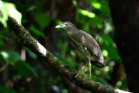 ズグロミゾゴイ(Malaysian night heron)/2017.07 - Birding  in  Japan!