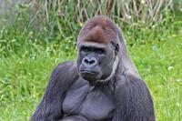 ニシローランドゴリラ「モンタ」&「ローラ」(千葉市動物公園) - 続々・動物園ありマス。