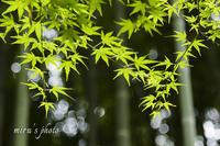 青紅葉と竹林。 - MIRU'S PHOTO