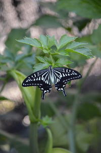 アゲハ 8月13日 庭にて - 超蝶