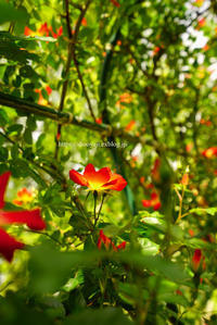 夏薔薇・・・ - ショーオヤジのひとり言