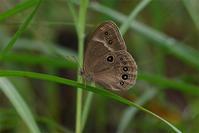 ジャノメチョウ亜科の粋なcombo - 蝶と蜻蛉の撮影日記