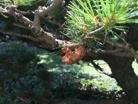空蟬 Cicada's Shell - my gallery-2