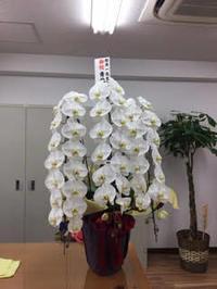 永田町の税理士事務所に移転お祝いの胡蝶蘭をお届け。 - 代々木上原花屋日記  にしむらフローリスト