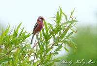北の大地 遠征4日目「真っ赤なベニマシコ」さん♪ - ケンケン&ミントの鳥撮りLifeⅡ