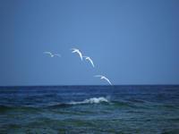 小島の朝のエリグロアジサシ - cuccooの野鳥エトセトラ
