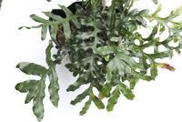 Drynaria bonii - PlantsCade -2nd effort