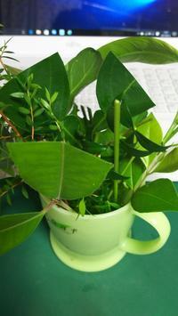 良い香りの挿し穂たち - やまぼうし