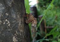 今季のセミから - 公園昆虫記