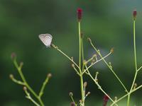 青と黒のゴマシジミ - 蝶超天国