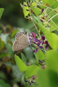 ゴマシジミの求愛、交尾、産卵など - 蝶超天国