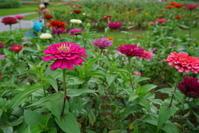 夏はどこへ~16日連続雨降り。。。夏のお花は元気かしら~ - Let's Enjoy Everyday!