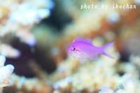 日の目は見たけど。。。~ハナゴイ幼魚~ - 池ちゃんのマリンフォト