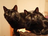 黒猫感謝の日猫 ぎゃぉすてぃぁら編。 - ゆきねこ猫家族