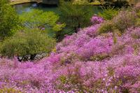 ミツバツツジに染まる山(るり渓) - 花景色-K.W.C. PhotoBlog