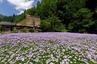 久多の北山友禅菊 - 花景色-K.W.C. PhotoBlog