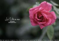 薔薇色ってホントは何色なのかしら?sony α7R II + ZEISS Batis 2.8/135 - 東京女子フォトレッスンサロン『ラ・フォト自由が丘』-写真とフォントとデザインと現像と-