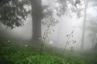 レンゲショウマ ☆霧に包まれて  - 夢・ファンダンゴ