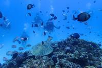 みなと祭だ!大島海峡ダイビング - 奄美大島 ダイビングライフ    ☆アクアダイブコホロ☆