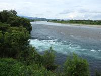 『高砂百合(タカサゴユリ)と赤芽槲(アカメガシワ)と長良川・・・・・』 - 自然風の自然風だより
