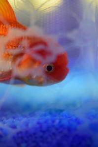 恋する金魚♪ - 今日もカメラを手に・・・♪