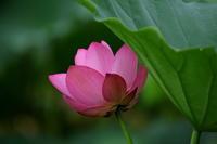 Lotus Flower - 心の色~光生写真館~