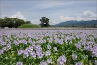 橿原市 ホテイアオイ - ぶらり記録(写真) 奈良・大阪・・・