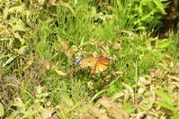 ツマグロヒョウモンの交尾拒否 - 飛騨山脈の自然