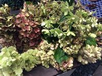 秋を迎える準備!「ウチ庭の紫陽花を整理しました。ドライにしますよ!」編 - ドライフラワーギャラリー⁂ふくことカフェ