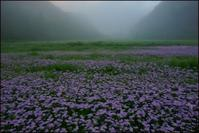 左京区久多の北山友禅菊 - Deep Season