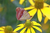 ウラギンスジヒョウモン信州の高原で - 蝶のいる風景blog