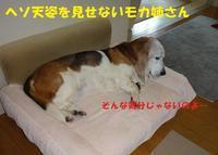 不調の続くモカ姉さん…>< - もももの部屋(家族を待っている保護犬たちと我家の愛犬のブログです)