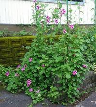 朝顔の花の成長記録  32 - 心の写真