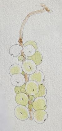 #植物スケッチ 『チョウセンゴミシ 』 - スケッチ感察ノート