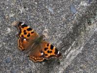 夏の高原で見つけたチョウ - 蝶超天国