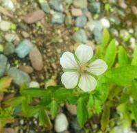 白花ひとつ… - 侘助つれづれ