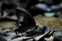 カラスアゲハの吸水排水とスズメバチ - 旅のかほり