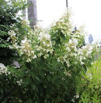 行方不明のくす玉 - ペコリの庭 *