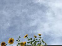 夏の空とヒマワリと - A primrose by the river's brim