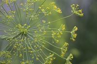 フェンネルの花とエゴマ - polepoleな日々