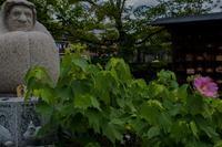 法輪寺(だるま寺)の芙蓉 - 鏡花水月