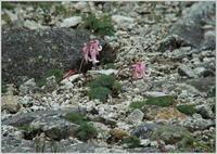 宝剣岳・千畳敷の花 - 野鳥の素顔 <野鳥と日々の出来事>