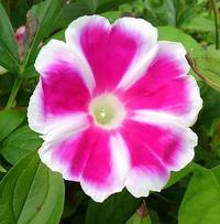 朝顔の花の成長記録  34 - 心の写真