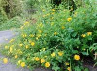 ベーゴマ - ろりぽりの花