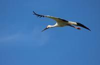 大空を翔るコウノトリ - 丹馬のきょうの1枚