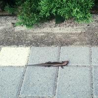 路上にて:トカゲに遭遇 - pantaya2_カエルの体操