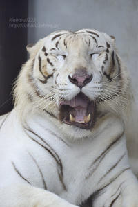2017.8.20 宇都宮動物園☆ホワイトタイガーのアース王子【White tiger】 - 青空に浮かぶ月を眺めながら
