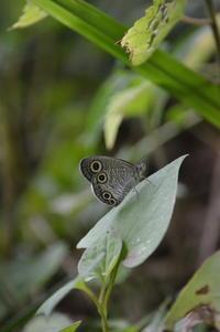 ウラナミジャノメ 8月26日 - 超蝶